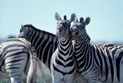Plains Zebra Side By Side, Etosha National Park, Namibia