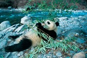 Panda Eating Bamboo by Riverbank, Wolong, Sichuan, China