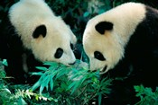 Pandas Eating Bamboo, Wolong, Sichuan, China