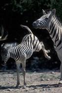 Plains Zebra Kicks, Etosha National Park, Namibia