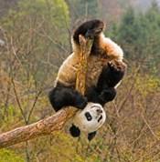 Panda Bear, Wolong Panda Reserve, China