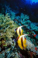 Pair of Red Sea Bannerfish at Daedalus Reef, Red Sea, Egypt