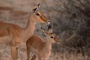Mother and Young Impala, Kenya