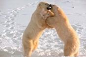 Polar Bears Sparring on Frozen Tundra of Hudson Bay, Churchill, Manitoba