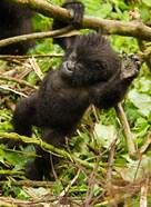 Rwanda, Volcanoes Park, Baby Mountain gorilla