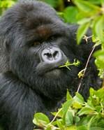 Rwanda, Silverback Mtn Gorilla, Volcanoes NP