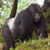 Rwanda, Mountain Gorilla, No 2 Silverback