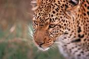 Samburu Leopard, Kenya