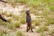 Serengeti, Tanzania, Banded mongoose baby