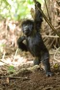 Rwanda, Mountain gorilla, volcanoes national park