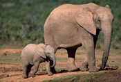 South Africa, Addo Elephant NP, Baby Elephant
