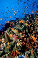 Scalefin Anthias Fish at Habili Ali, Red Sea, Egypt
