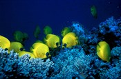 School of Masked Butterflyfish, Red Sea, Egypt