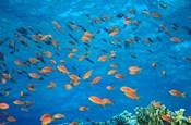 Scalefin Anthias, Elphinstone Reef, Red Sea, Egypt