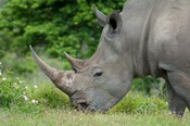 South Africa, Game Reserve, African White Rhino