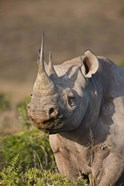 South Port Elizabeth, Shamwari GR, Black rhinoceros