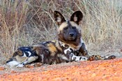 South Africa, Madikwe Game Reserve, African Wild Dog