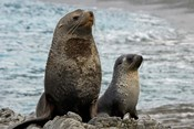 South Georgia Island. Mother fur seal and pup