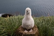 South Georgia Island, Grayheaded Albatross Chick