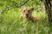 South African Lioness, Hluhulwe, South Africa