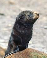 Close up of fur seal pup
