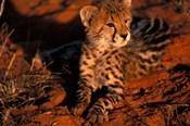 South Africa, Kalahari Desert. King Cheetah