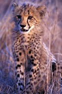 South Africa, Phinda Reserve. King Cheetah