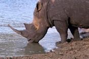 South Africa, KwaZulu Natal, Zulu Nyala, White Rhino