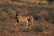 South Africa, Kgalagadi Transfrontier Park, Cheetah