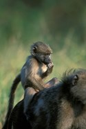 South Africa, Kruger NP, Chacma Baboon troop in grass