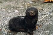 South Georgia Island, Southern fur seal pup