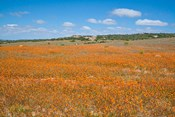 Field of Spring flowers, South Africa