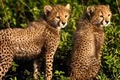 Tanzania, Ndutu, Ngorongoro, Cheetahs