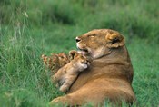 Tanzania, Ngorongoro Crater. African lion family