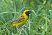 Spottedbacked Weaver bird, Imfolozi, South Africa