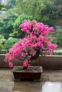 Spring Blossoms cover Bonsai, The Chi Lin Buddhist Nunnery, Hong Kong, China