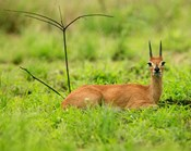 Steenbok buck, Mkuze Game Reserve, South Africa