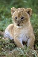 Tanzania, Serengeti National Park, African lion