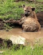 Spotted Hyaena, wildlife, Hluhulwe GR, South Africa
