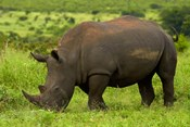 Southern white rhinoceros, Kruger National Park, South Africa