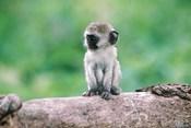 Tanzania, Ngorogoro Crate, Wild vervet monkey baby