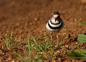 Threebanded Plover, Mkuze Game Reserve, South Africa