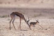 Springbok Mother Helps Newborn, Kalahari Gemsbok National Park, South Africa