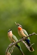 Pair of Whitefronted Bee-eater tropical birds, South Africa
