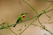 Tropical Bird, Little Bee Eater, Masai Mara GR, Kenya