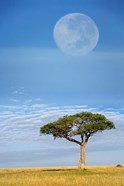 Umbrella Thorn Acacia, Kenya