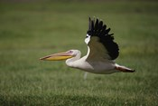 White Pelican bird in flight, Lake Nakuru, Kenya