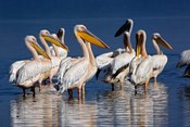 Group of White Pelican birds in the water, Lake Nakuru, Kenya