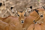 Wildlife, Female Impala, Samburu Game Reserve, Kenya
