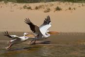 White Pelicans, Sandwich Harbor, Namib-Naukluft, Namibia